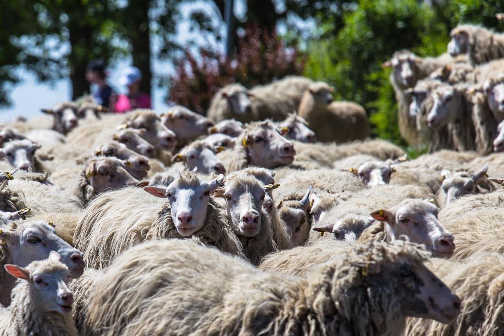 Schafe am Rheinufer zu Düsseldorf